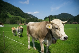 Kühe vor Tiefenbach